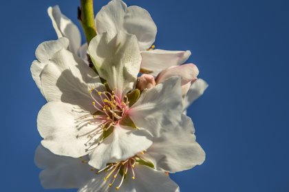 The wonder of Ibiza's almond trees in bloom